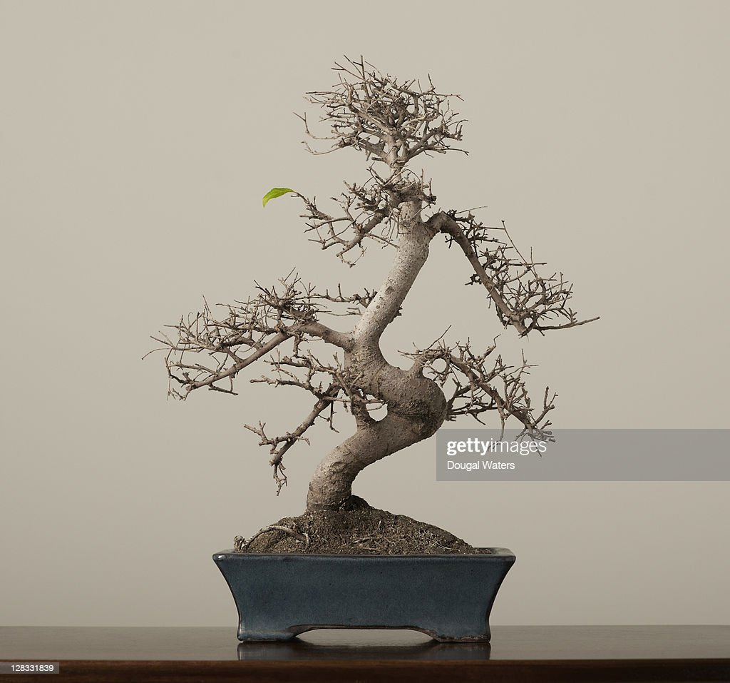Bonsai tree with single green leaf. : Stock Photo