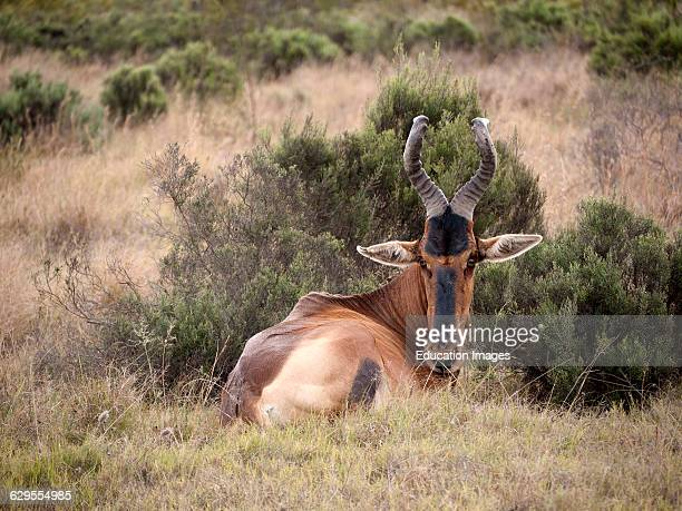 Bontebok in the Bontebok Park at Swellendam on the Garden Route western cape South Africa
