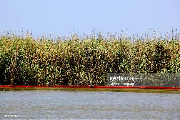 Booms surround the grassy marshland in the South Pass area of the Mississippi delta The oil sheen threatens to kill the grass further deteriorating...