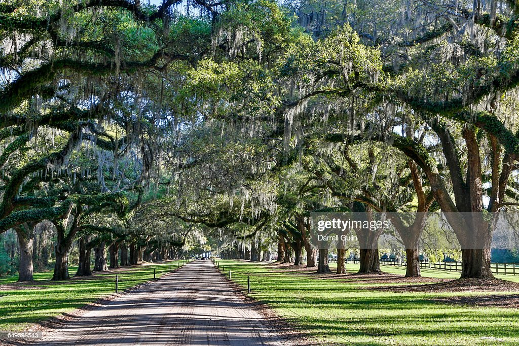 Boone Plantation Oak Trees over Roadway : Stock Photo