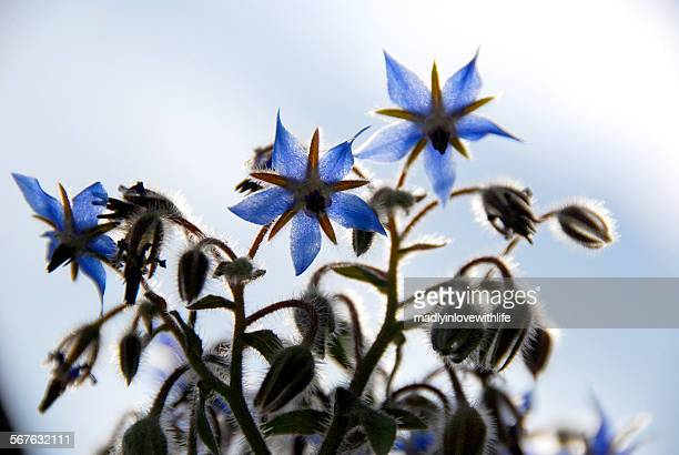 Borage Blossoms and Buds