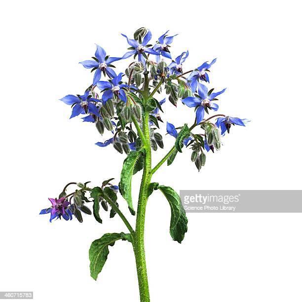 Borage Borago officinalis flowers