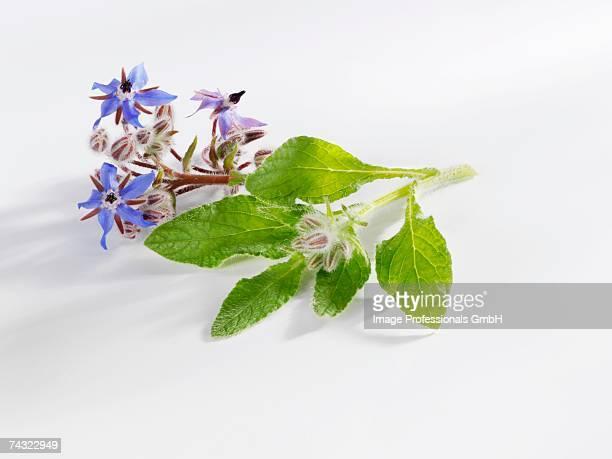 Borage with flowers