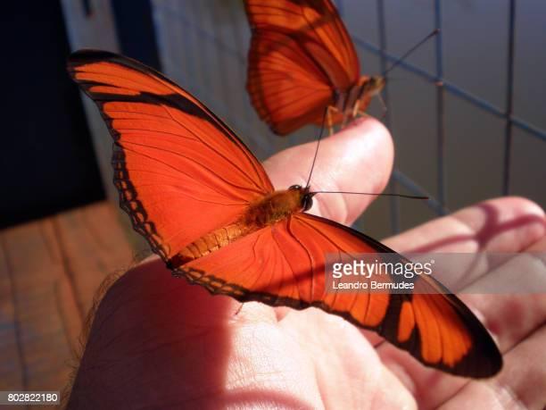 Borboleta Flambeau (Dryas iulia) sobre palma da mão