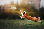 Border Collie catches a flying disc in a jump in the park
