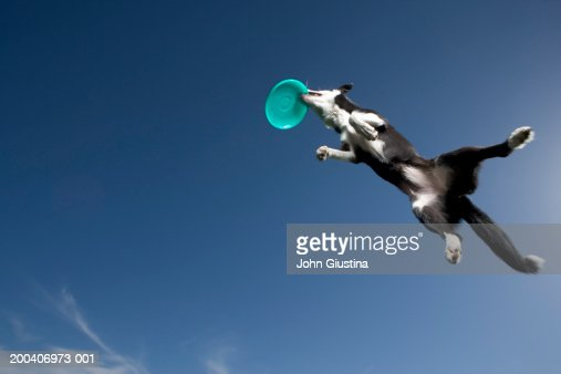Border collie catching plastic disc in midair, underneath view