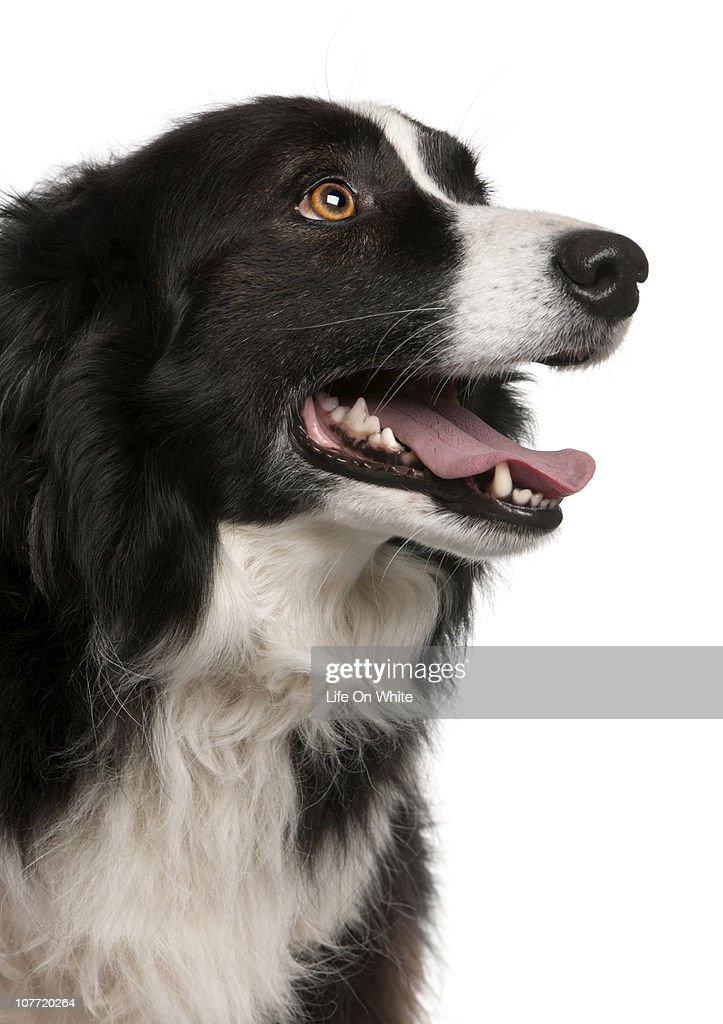 Border collie (5 years old) close-up : Stock Photo
