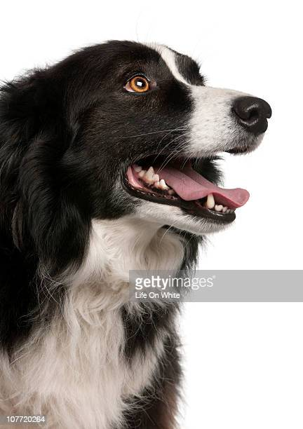 Border collie (5 years old) close-up