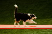 Border Collie competes in the Agility event during The World Dog Games at Acer Arena on October 31 2009 in Sydney Australia