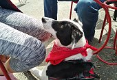 A border collie dog - begging for food crumbs- off-leash dog park