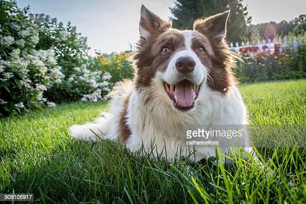 Border Collie Dog lying on grass