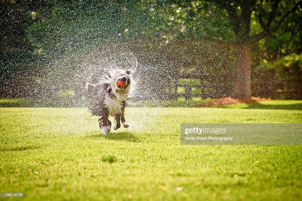 Border collie dog running through grass : Stock Photo