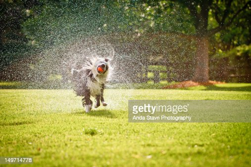 Border collie dog running through grass : Stock Photo