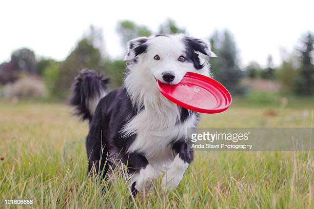 Border collie dog running with red frisbee