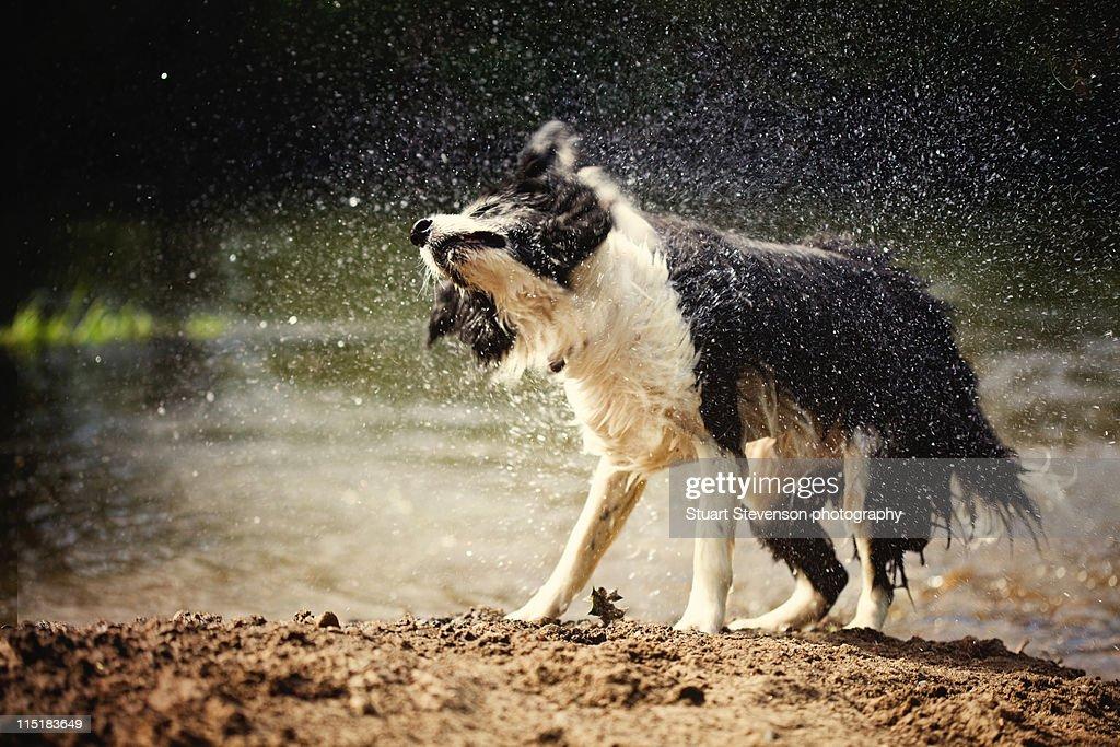 Border collie dog shaking