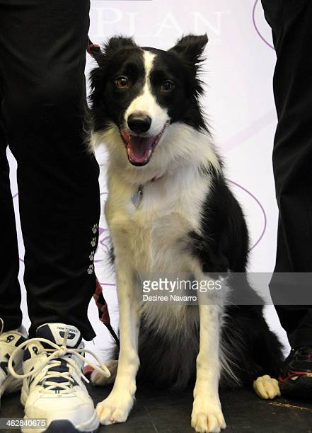 Border Collie 'Gem' attends the 138th Annual Westminster Kennel Club Dog Show press conference at Madison Square Garden on January 15 2014 in New...