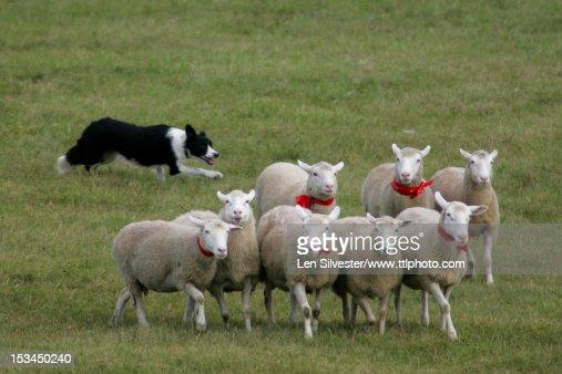Border Collie Herding : Stock Photo