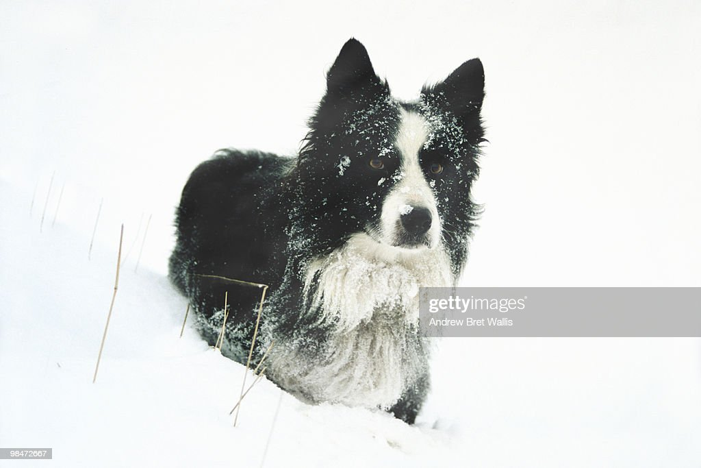 Border Collie in a snow drift : Stock Photo