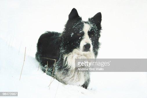 Border Collie in a snow drift : Bildbanksbilder