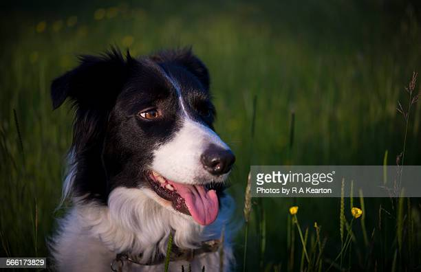 A Border Collie in a summer meadow