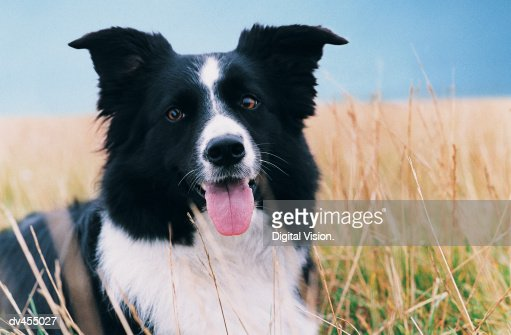 Border Collie in Grass : Stock Photo