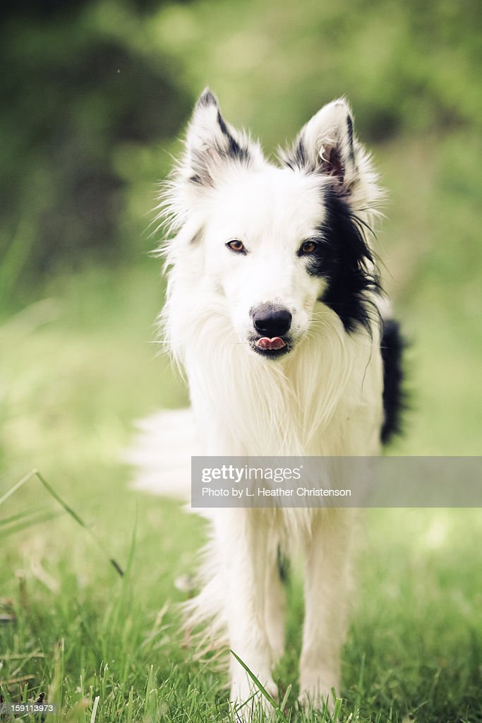 Border Collie in Summer : Stock Photo