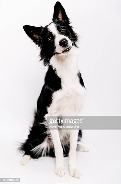 Border collie in the studio