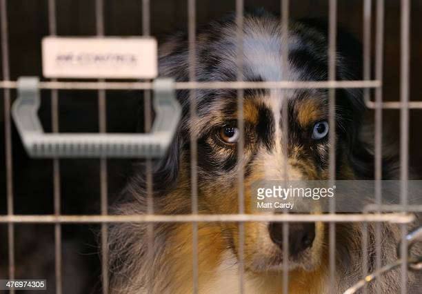 Border Collie looks out of his cage on the first day of Crufts dog show at the NEC on March 6 2014 in Birmingham England Said to be the largest show...