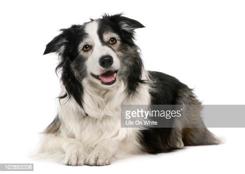 border collie lying down : Stock Photo