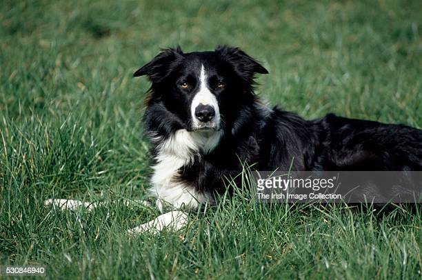 Border Collie Lying In Grass