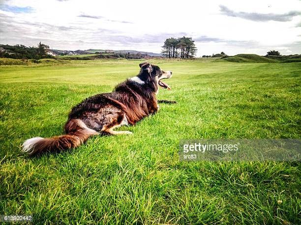 Border collie lying on grass with stick