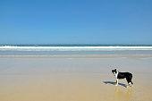 Border Collie on a big open beach