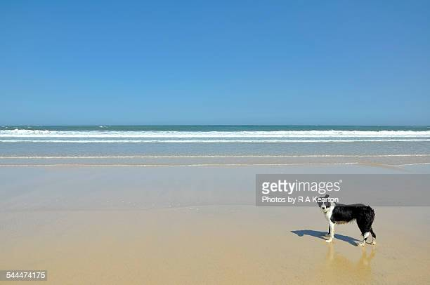 Border Collie on a big open beach
