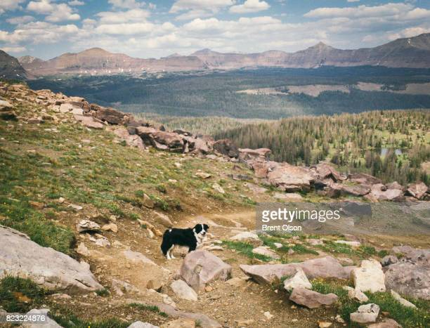 Border collie on the trail