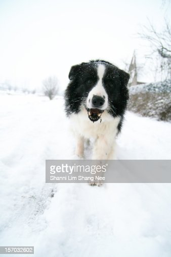 Border collie out enjoying a snow day : Stock Photo