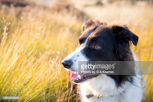 Border Collie outdoors in golden summer sunlight