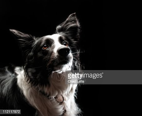 Border collie : Bildbanksbilder