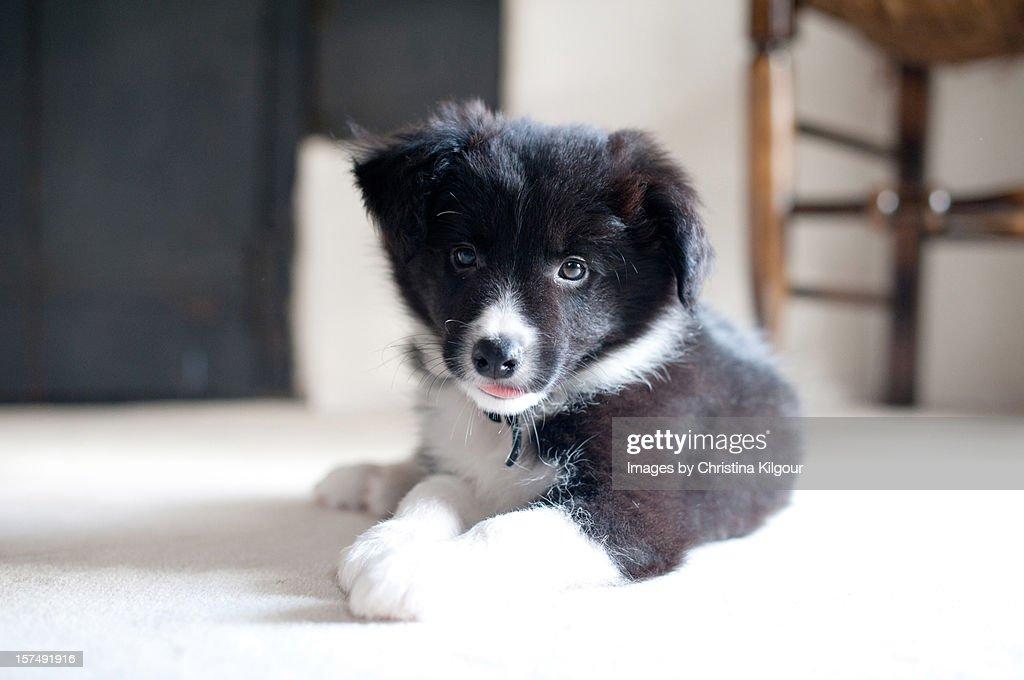 Border Collie Puppy : Stock Photo