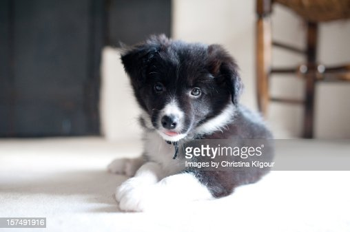 Border Collie Puppy : Stock Photo