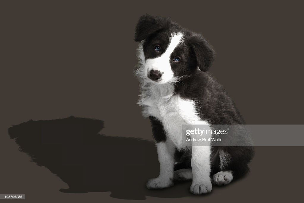 Border Collie puppy tilting head for attention : Stock Photo
