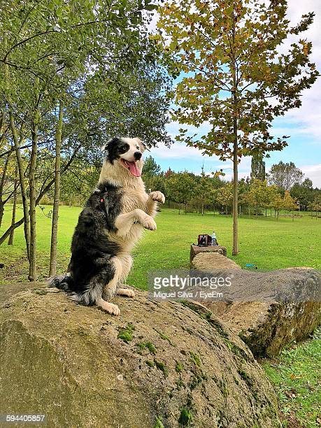 Border Collie Rearing Up On Rock In Park