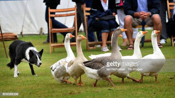 A border collie rounds up geese at the Ingatestone and Fryerning Horticultural Society Summer Show in Essex
