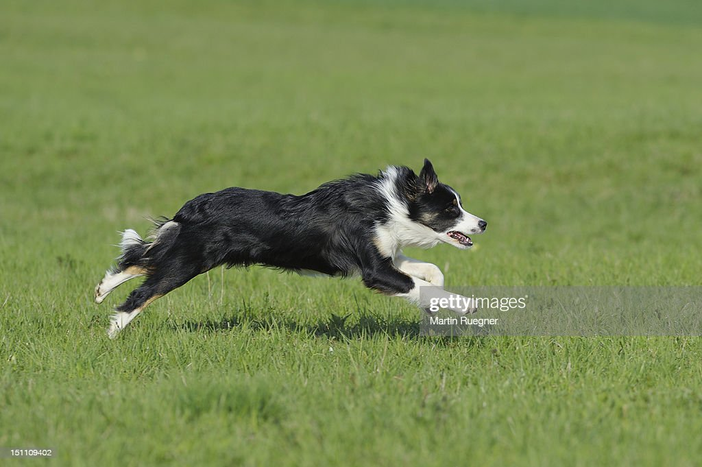 Border Collie running in a green meadow