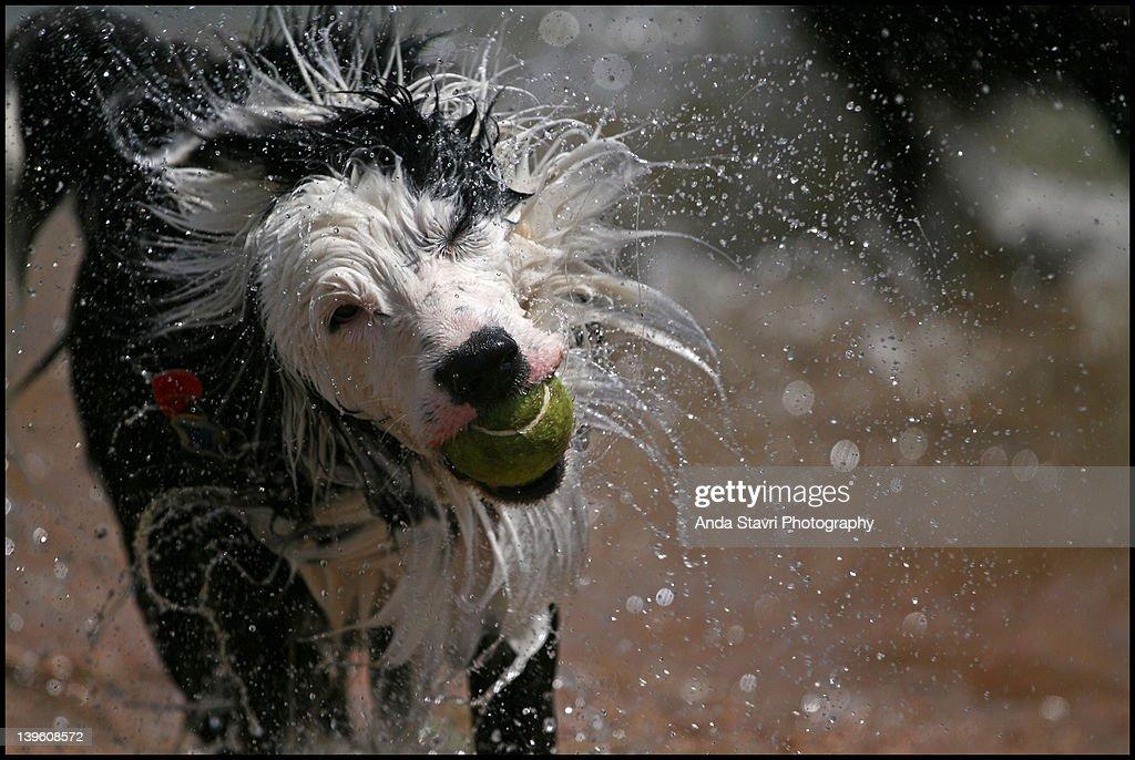 Border Collie shaking water