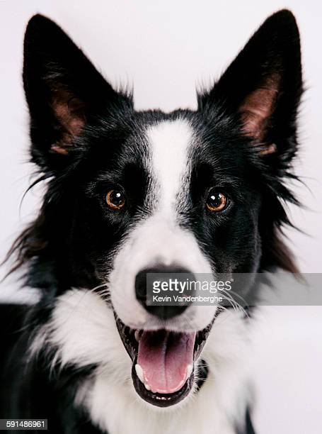 Border Collie smiling to the camera