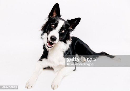 Border collie smiling towards the camera