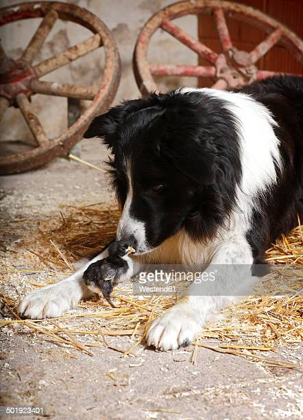 Border Collie sniffing at baby chicken