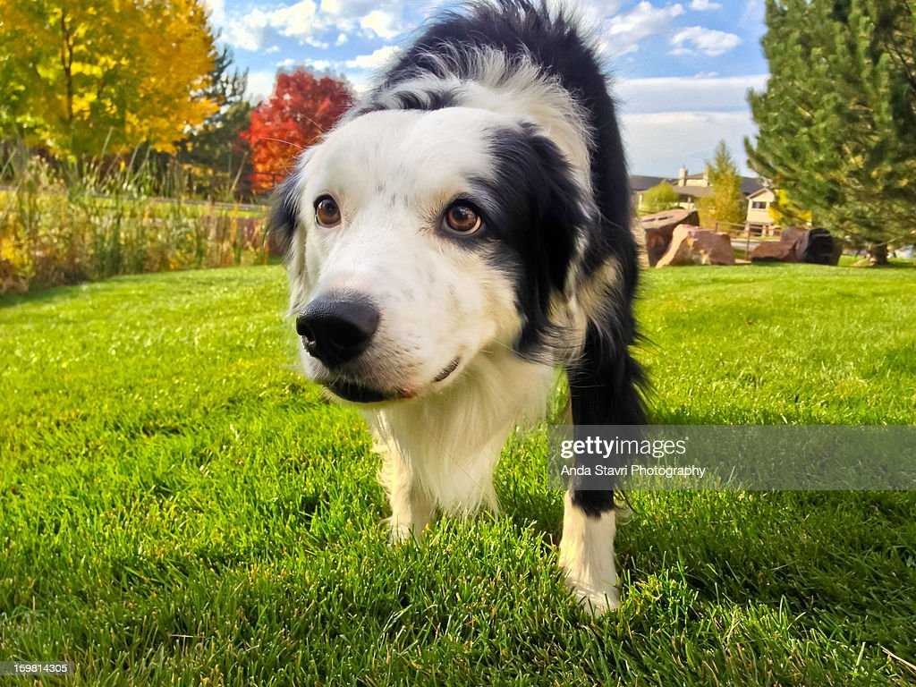 Border Collie Stalking October : Stock Photo