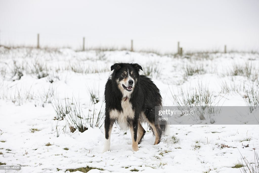 Border collie standing in snowy field : Stock Photo