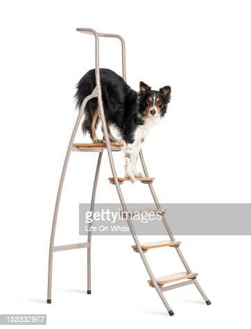 Border Collie standing on a ladder : Foto de stock
